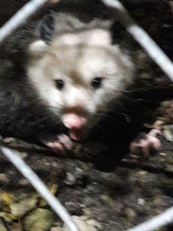 Oppossum Possum Pets Portrait Looking At Camera Young Animal