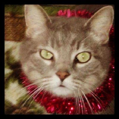 Elvis Elvisportrait Cat Kitty Elvis Cute Catsofinstagram Catoftheday Cutecat Catportrait Gpwoot Christmascat Dailycat Dailykitten Kittenoftheday Gpwoot_018
