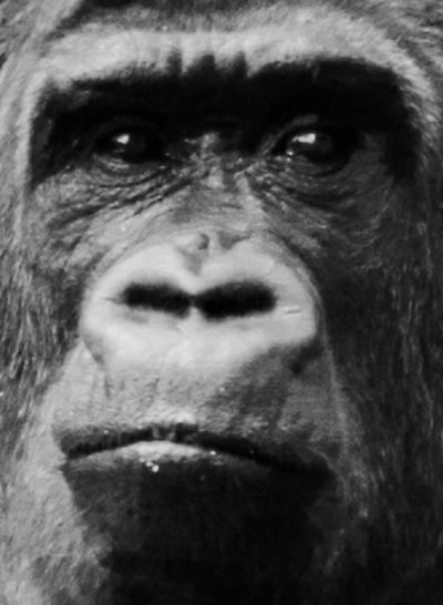 Animal Themes Ape Chimpanzee Close-up Gorilla Indoors  Looking At Camera Mammal Monkey Night One Animal One Man Only One Person Only Men People Portrait