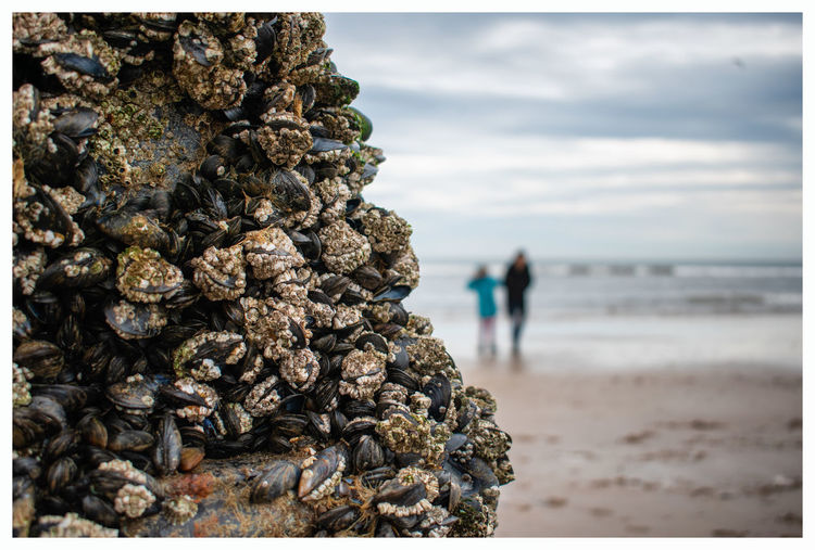 Close-up of mussel and barnacle on rock at beach