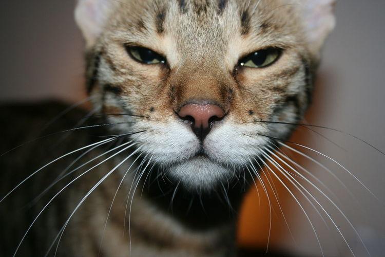 Cat Close-up Evil Eyes Pets Pose Savannah Squinting Wiskers