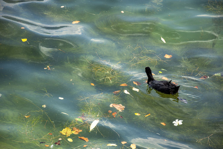 Folaga Animal Themes Animal Vertebrate Animal Wildlife Animals In The Wild Water Swimming Lake One Animal Nature High Angle View Day No People Bird Waterfront Reflection Young Animal Coot Outdoors Animal Family