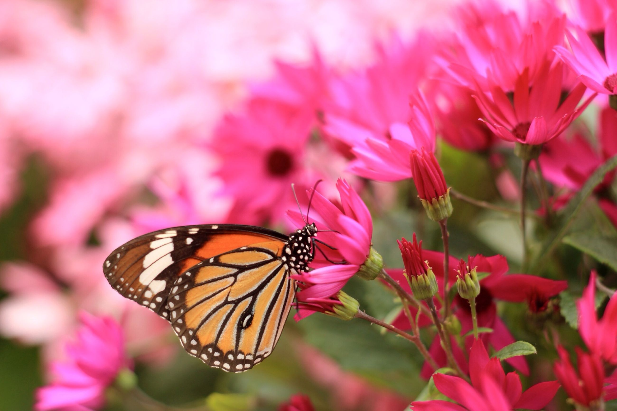 animals in the wild, insect, animal themes, wildlife, one animal, flower, butterfly - insect, pollination, butterfly, pink color, fragility, beauty in nature, petal, close-up, focus on foreground, freshness, nature, perching, symbiotic relationship, growth