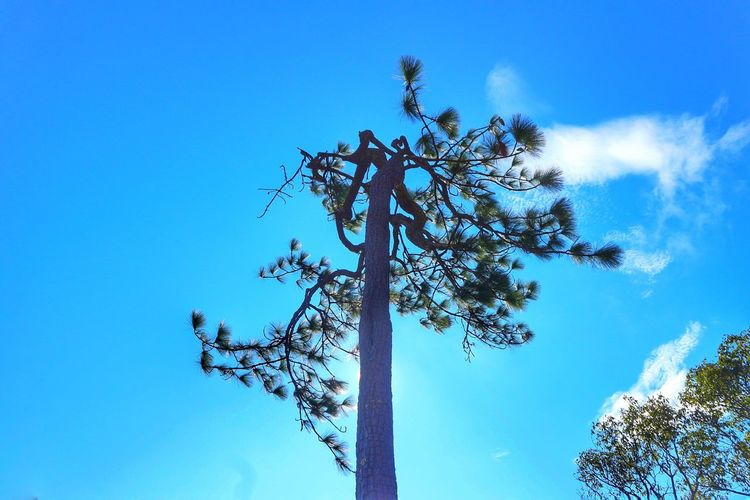 Tree Blue Low Angle View Sky Branch Tree Trunk Day Growth Nature Beauty In Nature Outdoors No People Bare Tree Clear Sky