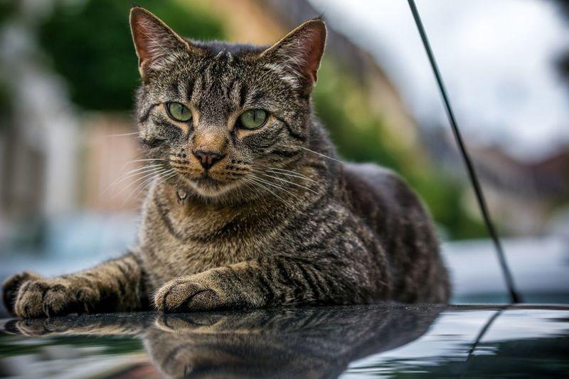 Portrait of cat resting car hood