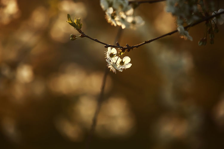 Close-up of cherry blossom on twig