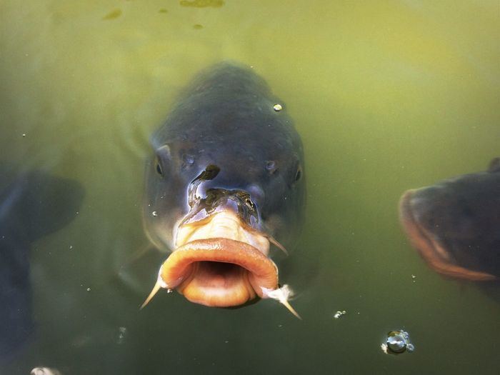 High angle portrait of carp with mouth open while swimming in pond