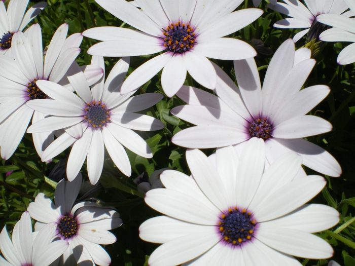 Flower Flowering Plant Flower Freshness Vulnerability  Fragility Plant Petal Growth Inflorescence Beauty In Nature Flower Head White Color Pollen No People Day Osteospermum Close-up Nature High Angle View Park