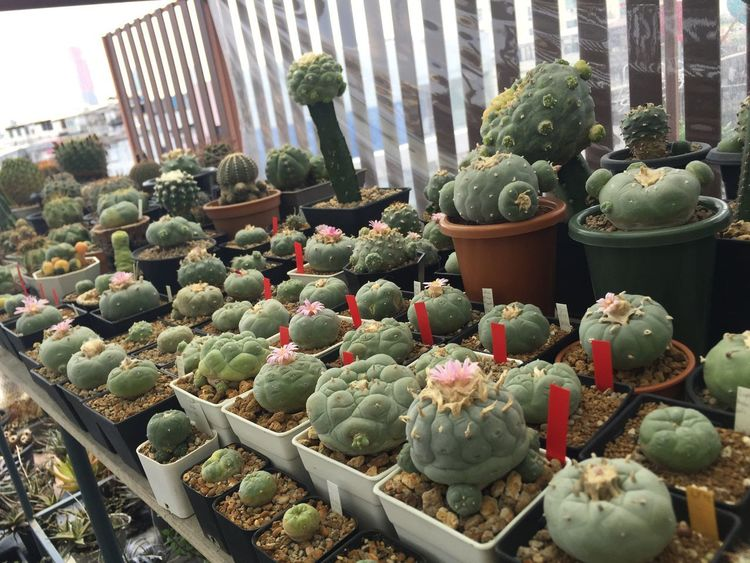 Hottest day ever ☀️🔥🔥🔥 Cactus No People Growth Plant Outdoors Close-up Nature Greenhouse Cactus Flower Beauty In Nature Potted Plant Cactusflower Blooming Cactus Nature Day
