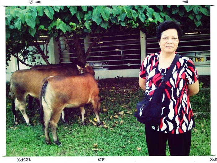 Lamcy Vs Cow 2