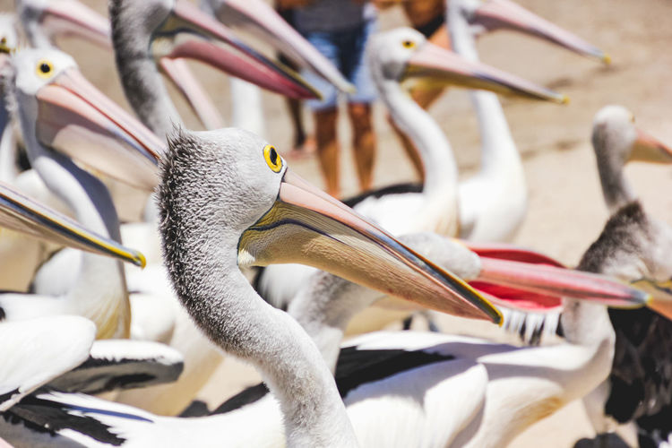 close up of pelicans at a local beach waiting for a regular feed by a local fish market Bird Group Of Animals Animal Vertebrate Animals In The Wild Animal Wildlife Animal Themes Beak Focus On Foreground Pelican Large Group Of Animals Day Nature Close-up Outdoors White Color Animal Neck Flock Of Birds