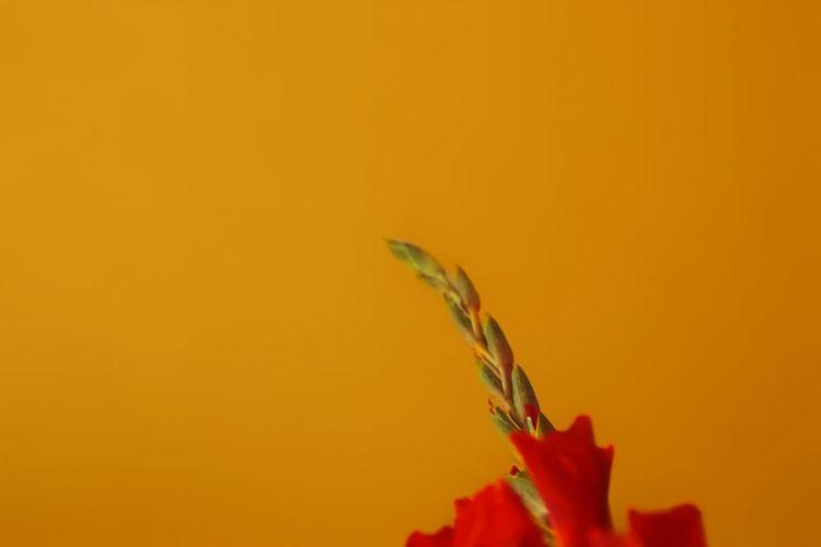 Close-up of red flower against orange background