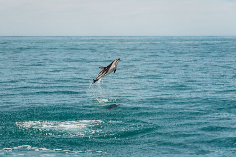 WIld Short-beaked Common Dolphin jumping out of the sea Sea Water Nature Outdoors Dolphin Dolphin Watching  Kaikoura New Zealand Kaikoura, New Zealand Kaikoura New Zealand Nature Photography Animals In The Wild Animal Wildlife Animal Common Dolphin Short-beaked Common Dolphin Deep Sea Deep Sea Creatures Blue Wave Tourist Attraction  Holiday