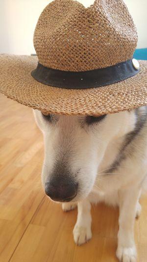Dog Pets Close-up Portrait Alaskan Malamute Summer Mood Hat Ready For Beach Dog With Hat The Week On EyeEm Pet Portraits Summer Exploratorium
