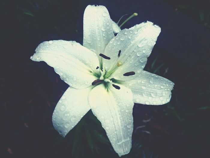 Walking past and thought to shoot! Petals Flower Captured Rain On Flower Water On Flower EyeEm Nature Lover Eyem Collection Eyeem Market