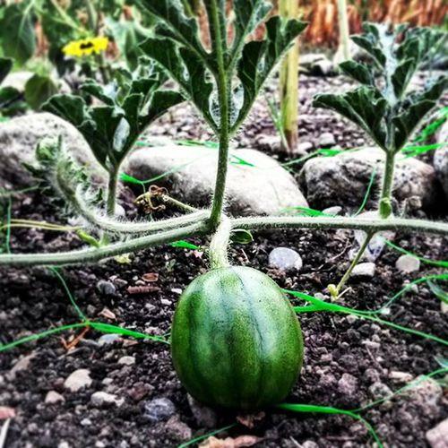Junge Melone