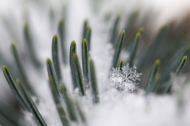 Winter in Calgary Macro Snowflake EyeEm Selects Plant Winter Snow Cold Temperature Nature No People Close-up Pine Tree Selective Focus Pinaceae Beauty In Nature Growth Coniferous Tree Frozen Green Color Day Focus On Foreground Snowflake Needle - Plant Part