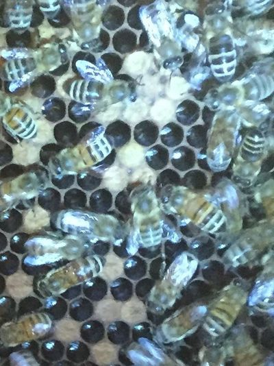 Hive inspection Save The Bees Making Honey Urban Beekeeper Bees Capped Honey Close Up Even More Bees! Honeycomb