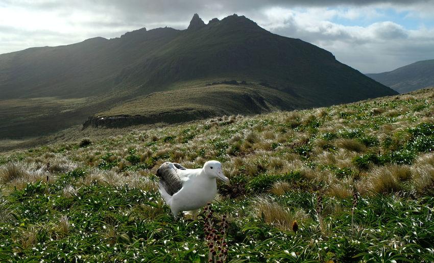 Royal albatross on grassy field against mountain