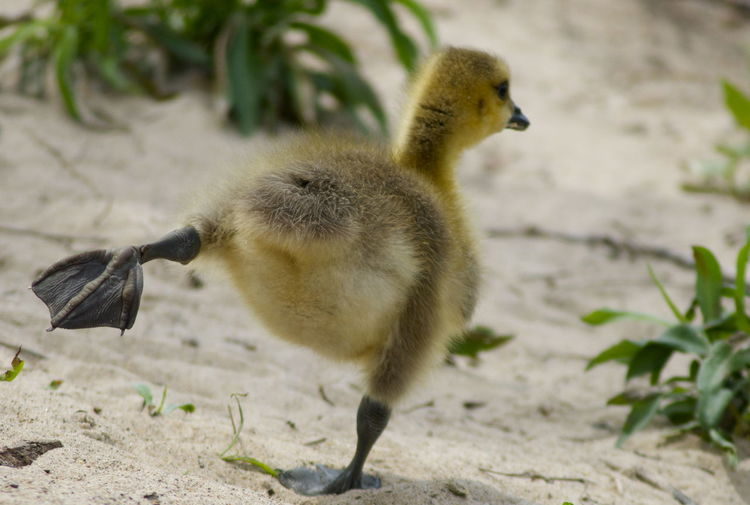 Branta Canadensis Canada Goose Action Animal Animal Family Animal Themes Animal Wildlife Animals In The Wild Bird Branta Canadensis Close-up Cygnet Day Duckling Fart Full Length Goose Gosling Gosling Stretch Nature One Animal Outdoors Stretching Vertebrate Young Bird