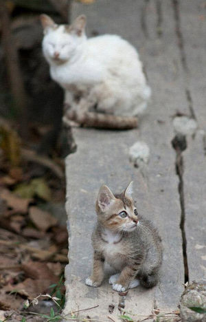 Animal Themes Cats Ferral Cats Kitten Temple Grounds. Thai Cats Thailand Young Animal