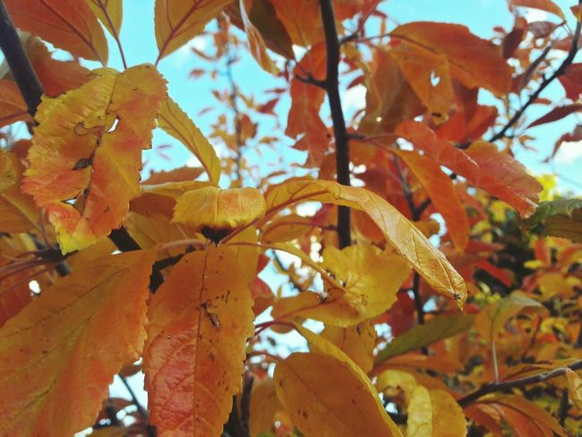 Leaf Autumn Nature No People Day Branch Tree Outdoors Low Angle View Close-up Beauty In Nature Growth Fruit Freshness Sky