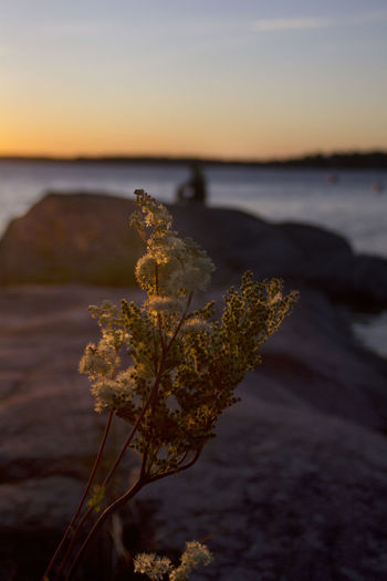 Close-up of plant on beach against sea during sunset