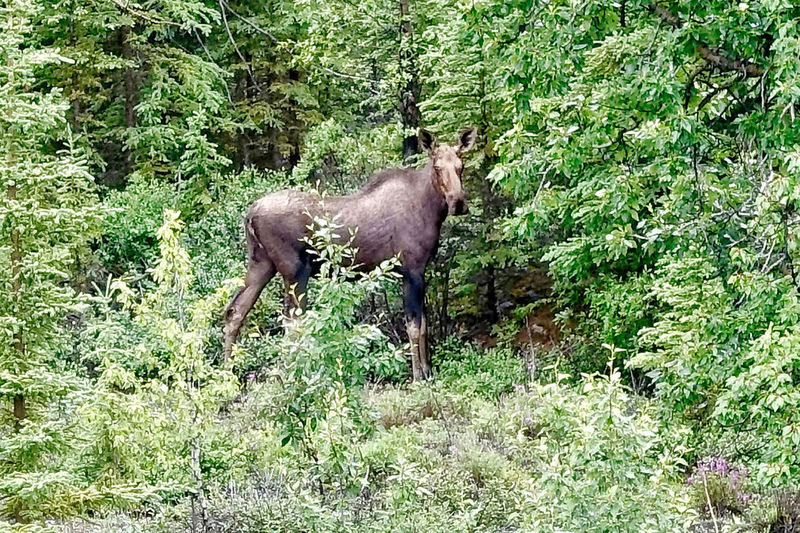 A female moose at Burwash Landing in Canada. Burwash Landing Moose Shrubs Trees Yukon Animal Animal Wildlife Animals In The Wild Beauty In Nature Canada Cow Day Forest Green Color Mammal Moose Nature No People One Animal Outdoors Plant Standing
