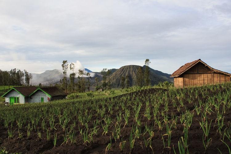 Farm Against Mt Bromo