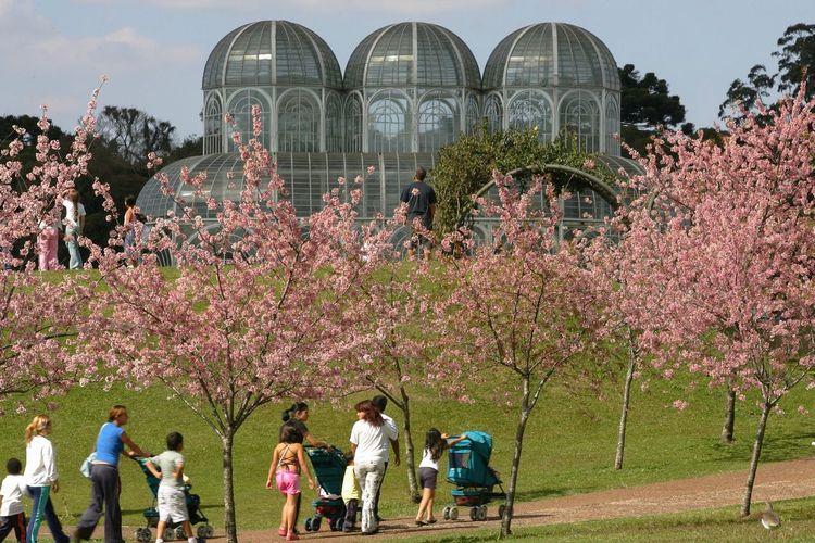 Cerejeiras,Jardim Botânico.Curitiba,Paraná,Brasil. Travel Destinations Tourist Tourism Outdoors Plant Flower