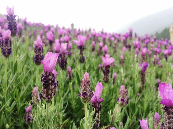 Lavender 🌾 Taiwan 九族文化村 Nature