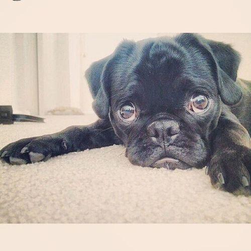I would legit love the person who gets me one forever Pugs puppies IWants
