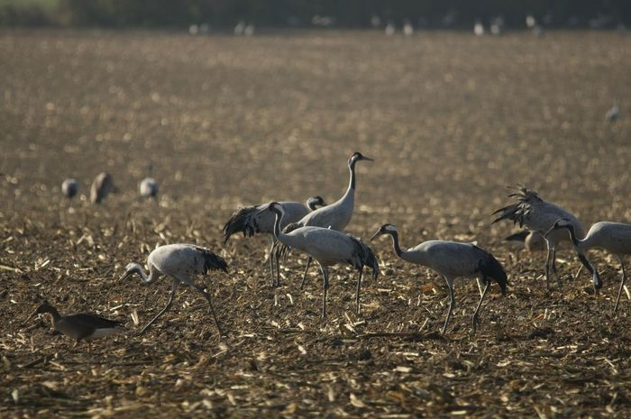 Cranes on a harvested corn field near Hermannshagen Animal Animal Behavior Animal Themes Animals In The Wild Bird Day Field Flying Focus On Foreground Full Length Grey Cranes Group Of Animals Nature No People Non-urban Scene Togetherness Tranquility Wildlife Zoology