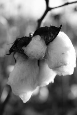 Cotton on cotton... Close-up Cotton Plants And Flowers Virginia Selective Focus Outdoors Canonphotography StillLifePhotography Different Perspective Nature No People Blossom Blackandwhite Blackandwhite Photography