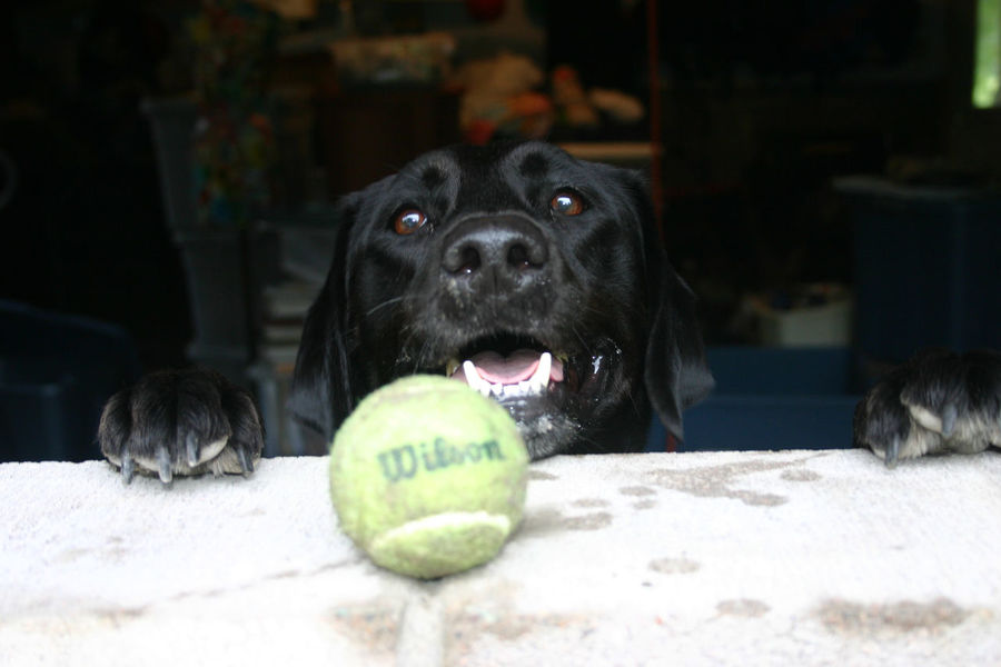 Animal Head  Animal Themes Black Lab Black Lab And Tennis Ball Close-up Dog Domestic Animals Looking Loyalty Obession One Animal Pets Tennis Ball
