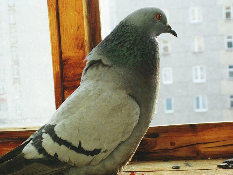 Bird голубь птица птицы голуби Birds Pigeons Pigeon птичка птички Pigeonslife