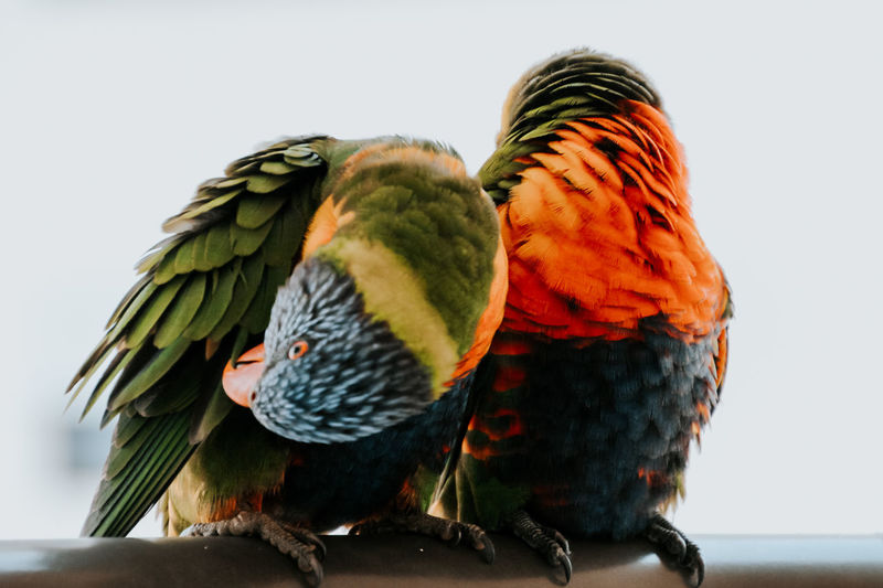 Close-up of parrot perching