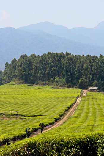 Agriculture Beauty In Nature Day Field Golf Course Grass Green Color Landscape Mountain Mountain Range Nature No People Outdoors Scenics Sky Tea Plantation  Tranquil Scene Tranquility Travel Destinations Tree
