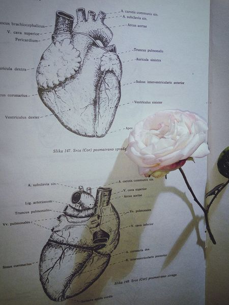 Anatomy Heart Anatomical Heart Broken Rosé Roses Beauty Beautiful Knowledge Knowledge Is Power Powerofnature Photography Mixed Composition Combination Two Worlds Medicine