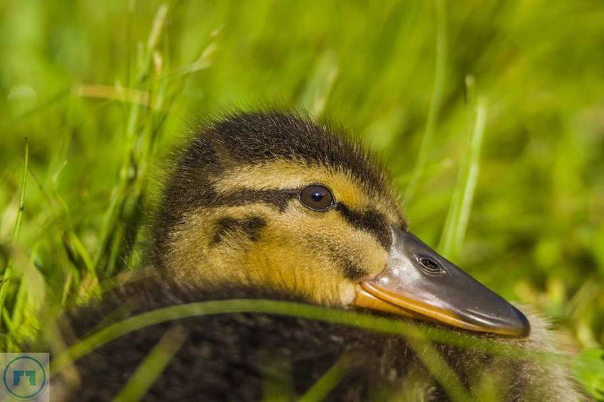 Babyducks Wildlife Nature Duck
