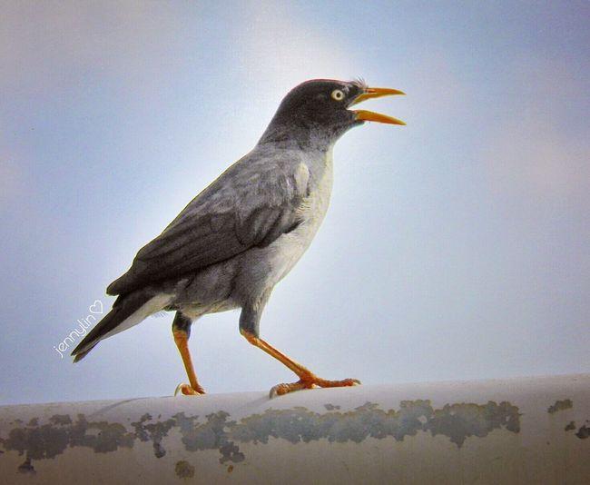 八哥鳥 Bird Flying
