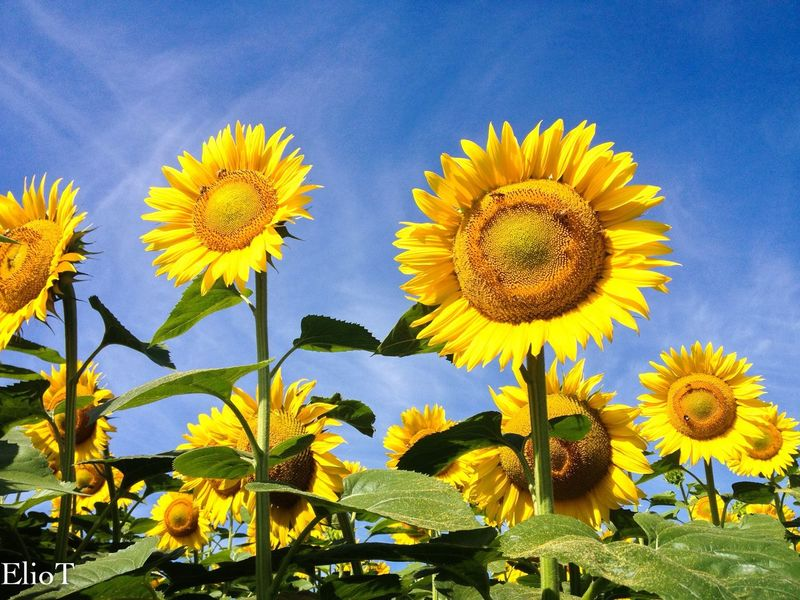 The Great Outdoors With Adobe Hello World Cheese! Fleurs Fleamarket Relaxing Bologna, Italy Fiori Fiore🌼🌻🌺 Fiowers Fioritura Girasoli Sunflower On A Tour Showcase April Hello World Nature_collection Nature Photography Naturephotography Natural Light
