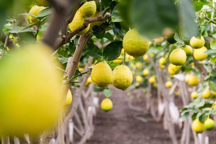 Close-up of lemons growing