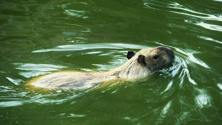 Animal Head  Portrait Photography Animal Photography Nature Animal Portrait One Animal Outdoors Mammal Animal Themes Animals In The Wild Animal Wildlife Animal Capibara Water Swimming Underwater Water Collection  Close-up