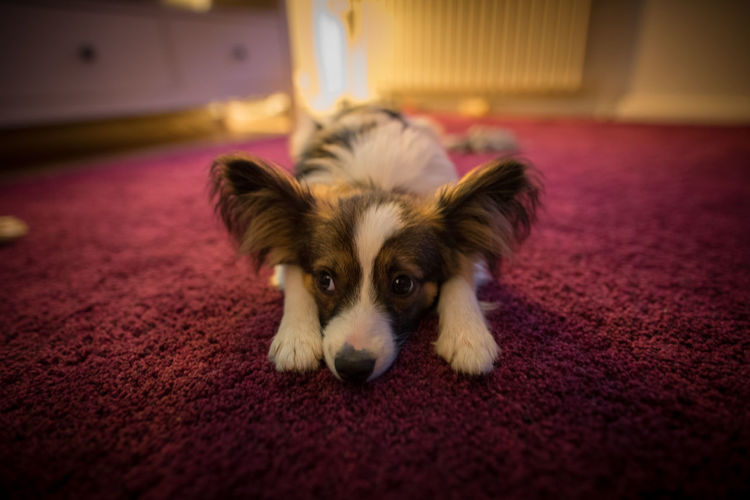 High angle view of papillon dog resting on carpet