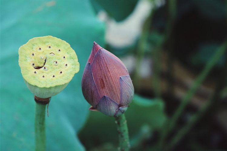 Close-up of lotus pod and bud