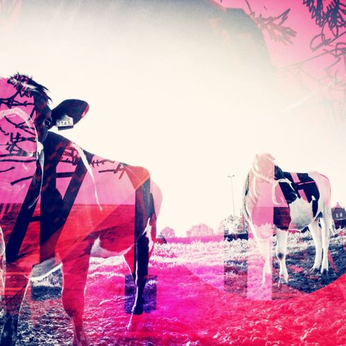 Colorful Dierenn Cow Koeien