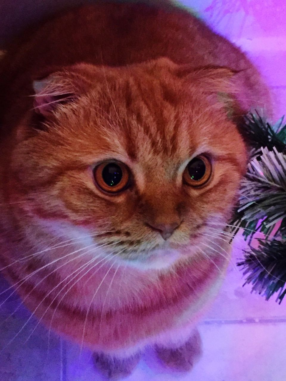 pets, domestic cat, domestic animals, animal themes, one animal, mammal, whisker, indoors, feline, looking at camera, no people, portrait, close-up, day