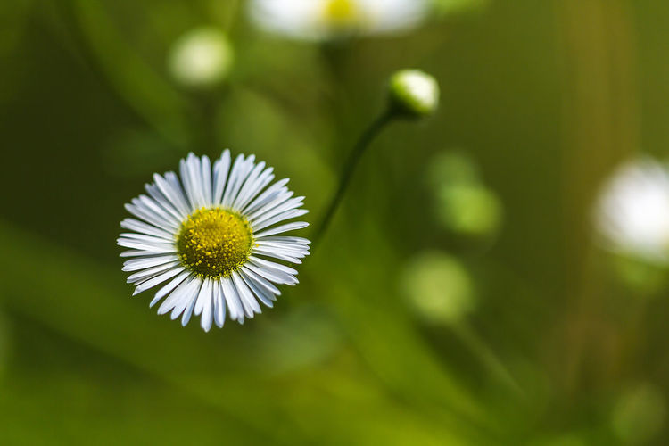 Daisy Flower Beauty In Nature Blooming Close-up Day Flower Flower Head Fragility Freshness Growth Nature No People Outdoors Petal Plant White Color