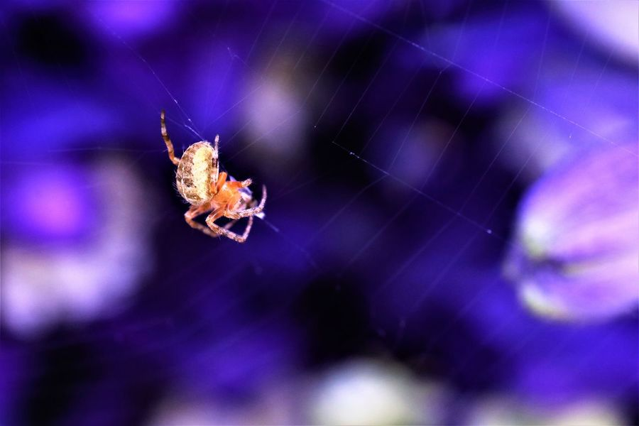 Animal Themes Animal Wildlife Animals In The Wild Close-up Day Focus On Foreground Insect Nature No People One Animal Outdoors Purple Spider Spider Web Web